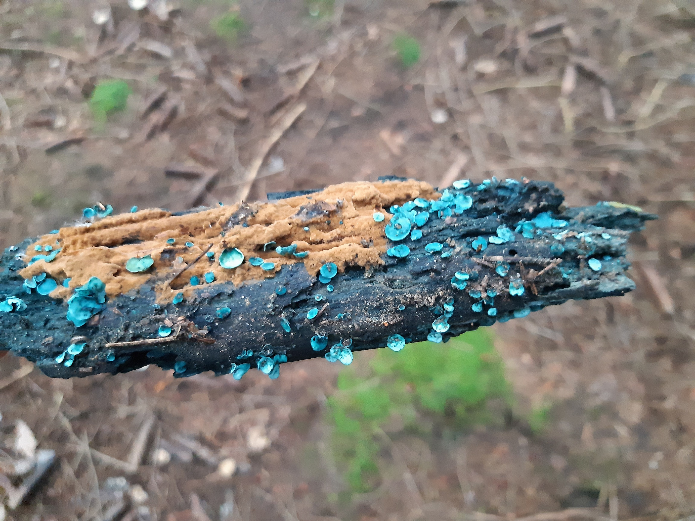 and chlorociboria aeruginascens (i think)