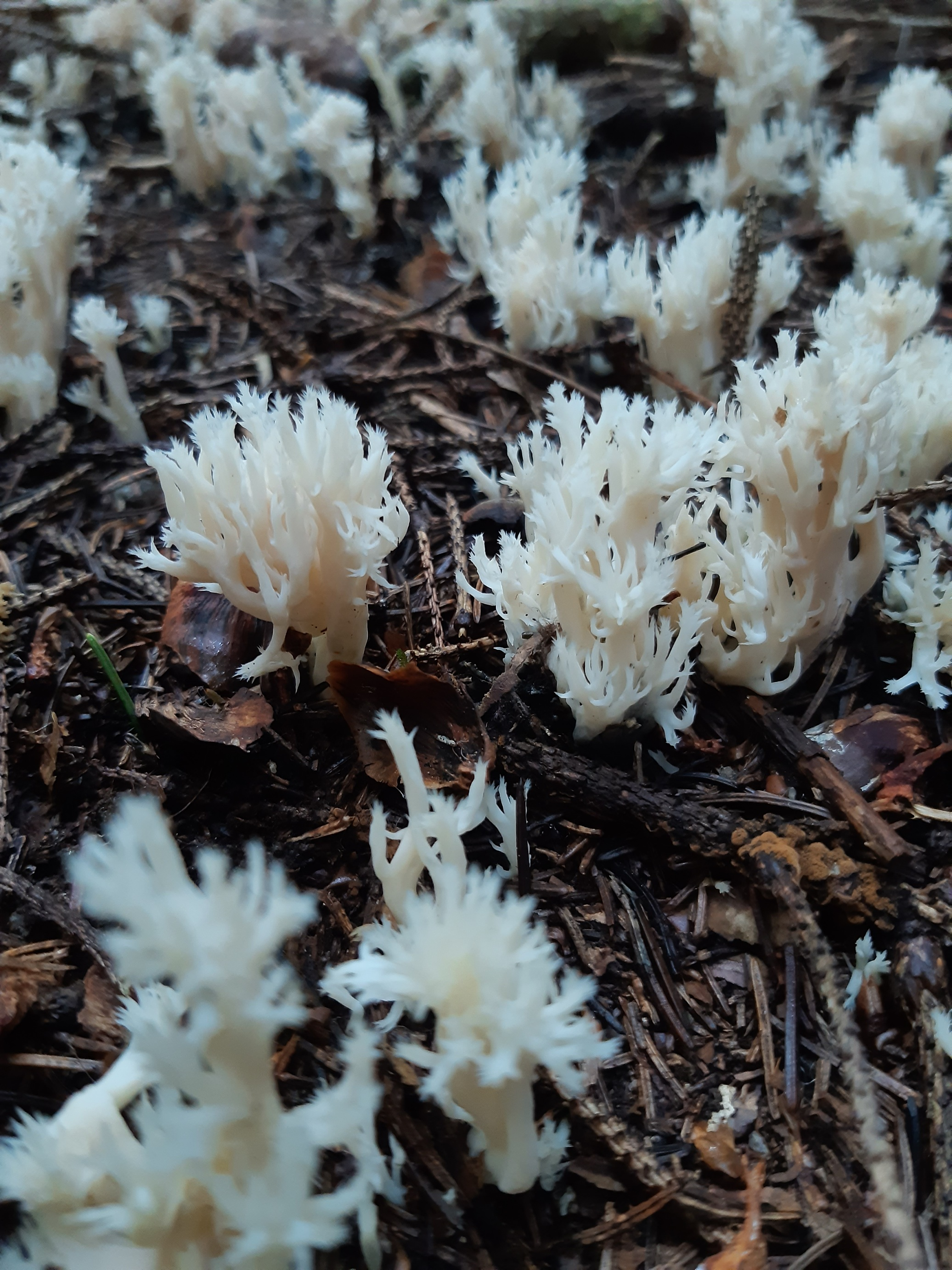 some clavulina coralloides (i think)